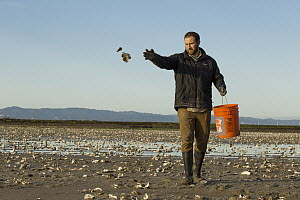 Snowy Plover (Charadrius nivosus) biologist, Ben Pearl, spreading oystershells in salt pond, which snowy plovers can use for camouflage, Eden Landing Ecological Reserve, Union City, Bay Area, Californ...  -  Sebastian Kennerknecht