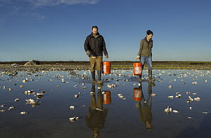 Snowy Plover (Charadrius nivosus) biologists, Ben Pearl and Karine Tokatlian, spreading oystershells in salt pond, which snowy plovers can use for camouflage, Eden Landing Ecological Reserve, Union Ci...  -  Sebastian Kennerknecht