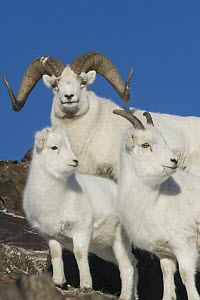 Dall's Sheep (Ovis dalli) ram, lamb, and ewe, Yukon Territory, Canada  -  Michael Quinton