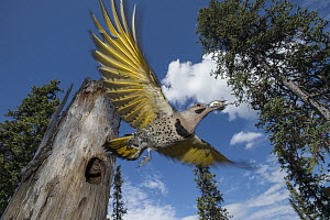 Northern Flicker (Colaptes auratus) carrying fecal sac from nest cavity in forest, Alaska  -  Michael Quinton
