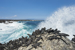Marine Iguana (Amblyrhynchus cristatus) group basking on coast, Cape Hammond, Fernandina Island, Galapagos Islands, Ecuador  -  Tui De Roy