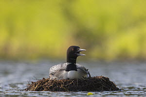 Common Loon (Gavia immer) panting to cool off while incubating on floating nest, Crosslake, Minnesota - Benjamin Olson