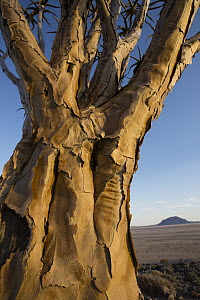 Quiver Tree (Aloe dichotoma) trunk, Namib-Naukluft National Park, Namibia - Cyril Ruoso