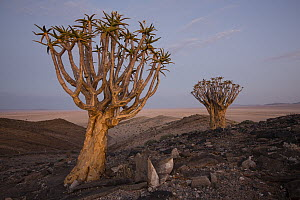 Quiver Tree (Aloe dichotoma) pair in desert, Namib-Naukluft National Park, Namibia - Cyril Ruoso
