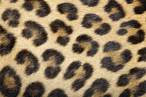 Leopard (Panthera pardus) fur, native to African and Asia  -  Heidi & Hans-Juergen Koch