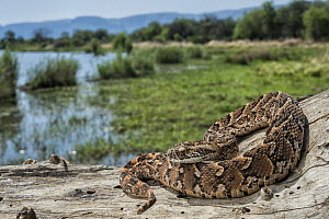Puff Adder (Bitis arietans) near wetland, Marakele National Park, Limpopo, South Africa  -  Pete Oxford