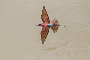 Carmine Bee-eater (Merops nubicus) calling while flying, South Luangwa National Park, Zambia  -  Adri de Visser