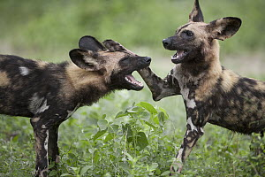 African Wild Dog (Lycaon pictus) sub-adults playing, Ruaha National Park, Tanzania  -  Adri de Visser