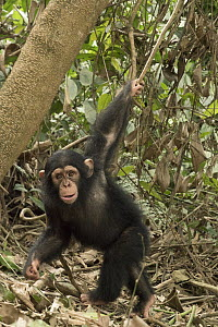 Chimpanzee (Pan troglodytes) orphan Larry swinging from a branch, Ape Action Africa, Mefou Primate Sanctuary, Cameroon  -  Gerry Ellis