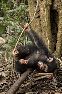 Chimpanzee (Pan troglodytes) orphan Larry playing in forest nursery, Ape Action Africa, Mefou Primate Sanctuary, Cameroon  -  Gerry Ellis