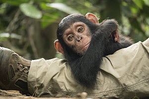 Chimpanzee (Pan troglodytes) orphan Larry hanging out with keeper, Ape Action Africa, Mefou Primate Sanctuary, Cameroon  -  Gerry Ellis