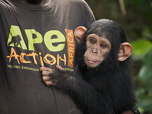 Chimpanzee (Pan troglodytes) orphan Lomie with keeper, Ape Action Africa, Mefou Primate Sanctuary, Cameroon  -  Gerry Ellis