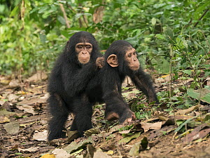 Chimpanzee (Pan troglodytes) orphans Lomie and Jenny holding each other in forest nursery, Ape Action Africa, Mefou Primate Sanctuary, Cameroon  -  Gerry Ellis