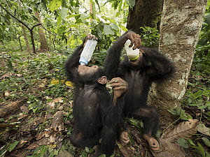 Chimpanzee (Pan troglodytes) orphans Jenny and Larry bottle feeding, Ape Action Africa, Mefou Primate Sanctuary, Cameroon  -  Gerry Ellis
