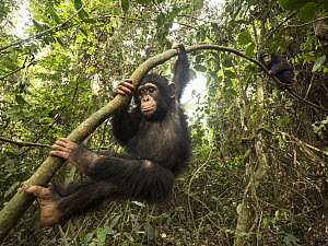 Chimpanzee (Pan troglodytes) orphan Daphne and Larry climbing tree, Mefou Primate Sanctuary, Ape Action Africa, Cameroon  -  Gerry Ellis
