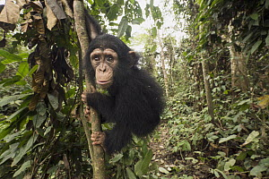 Chimpanzee (Pan troglodytes) orphan Larry in forest nursery, Mefou Primate Sanctuary, Ape Action Africa, Cameroon  -  Gerry Ellis