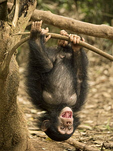 Chimpanzee (Pan troglodytes) orphan Larry playing in tree, Ape Action Africa, Mefou Primate Sanctuary, Cameroon  -  Gerry Ellis