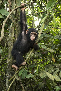 Chimpanzee (Pan troglodytes) orphan Larry climbing in forest nursery, Mefou Primate Sanctuary, Ape Action Africa, Cameroon  -  Gerry Ellis