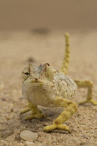 Namaqua Chameleon (Chamaeleo namaquensis) showing eyes going in different directions, Namibia  -  Vincent Grafhorst