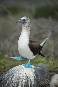 Blue-footed Booby (Sula nebouxii) performing foot-lifting courtship display, Seymour Island, Galapagos Islands, Ecuador  -  Tui De Roy