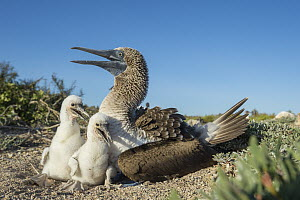 Blue-footed Booby (Sula nebouxii) parent and chicks at nest, Santa Cruz Island, Galapagos Islands, Ecuador  -  Tui De Roy