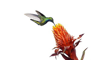 Black-throated Mango (Anthracothorax nigricollis) hummingbird feeding on flower nectar, Argentina - Agustin Esmoris