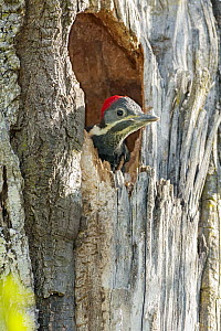 Lineated Woodpecker (Dryocopus lineatus) chick in nest cavity, Argentina  -  Agustin Esmoris