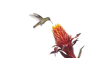 Gilded Hummingbird (Hylocharis chrysura) feeding on flower nectar, Argentina - Agustin Esmoris
