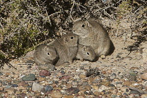 Southern Mountain Cavy (Microcavia australis) mother and young, Puerto Madryn, Argentina  -  Agustin Esmoris