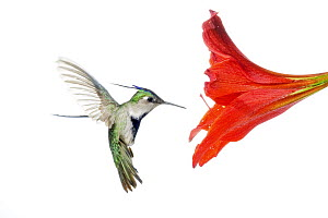 Plovercrest (Stephanoxis lalandi) hummingbird feeding on flower nectar, Argentina - Agustin Esmoris
