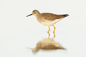 Lesser Yellowlegs (Tringa flavipes), Argentina  -  Agustin Esmoris