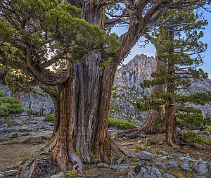 Western Juniper (Juniperus occidentalis) and Jeffrey Pine (Pinus jeffreyi), Phipps Peak, Eldorado National Forest, California - Tim Fitzharris