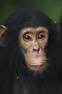 Eastern Chimpanzee (Pan troglodytes schweinfurthii) three year old juvenile male, Gombe National Park, Tanzania - Fiona Rogers