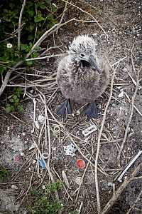 Laysan Albatross (Phoebastria immutabilis) chick at nest with bones and plastic, Midway Atoll, Hawaiian Leeward Islands, Hawaii  -  Jaymi Heimbuch