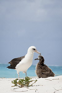 Laysan Albatross (Phoebastria immutabilis) parent and chick at nest, Midway Atoll, Hawaiian Leeward Islands, Hawaii  -  Jaymi Heimbuch