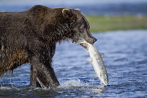 Brown Bear (Ursus arctos) male with salmon prey, Katmai, Alaska  -  Jaymi Heimbuch