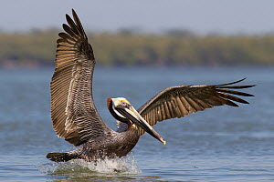 Brown Pelican (Pelecanus occidentalis) landing, Florida  -  Jan Wegener/ BIA