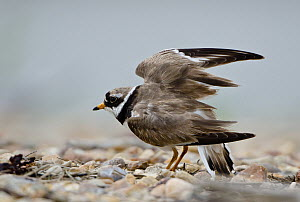 Common Ringed Plover (Charadrius hiaticula) stretching, Schleswig-Holstein, Germany  -  Peter Hering/ BIA