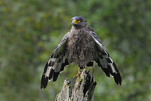 Crested Serpent-Eagle (Spilornis cheela) drying off, India  -  Clement Francis Martin/ BIA