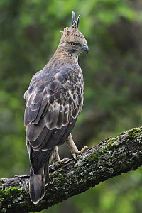 Changeable Hawk-Eagle (Spizaetus cirrhatus), India  -  Clement Francis Martin/ BIA