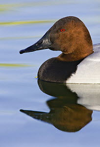 Canvasback (Aythya valisineria) male, Arizona  -  E.J. Peiker/ BIA