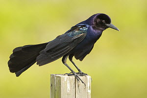 Boat-tailed Grackle (Quiscalus major) male, Florida  -  Rosl Roessner/ BIA