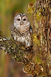 Barred Owl (Strix varia), Florida - Alan Murphy/ BIA
