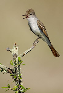 Ash-throated Flycatcher (Myiarchus cinerascens) calling, Texas  -  Alan Murphy/ BIA