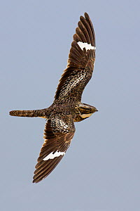 Common Nighthawk (Chordeiles minor) flying, Texas  -  Jan Wegener/ BIA