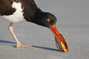 American Oystercatcher (Haematopus palliatus) feeding on bivalve prey, Florida  -  Jan Wegener/ BIA