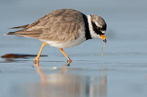 Common Ringed Plover (Charadrius hiaticula) with prey, Schleswig-Holstein, Germany  -  Sebastian Muenter/ BIA