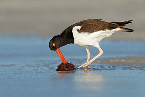 American Oystercatcher (Haematopus palliatus) feeding on sea urchin prey, Florida  -  Jan Wegener/ BIA