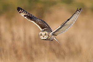 Short-eared Owl (Asio flammeus) flying, British Columbia, Canada  -  Connor Stefanison/ BIA
