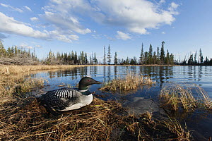 Common Loon (Gavia immer) on nest at lake, British Columbia, Canada  -  Connor Stefanison/ BIA